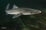 tn_spiny_dogfish_shark_andy_murch